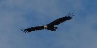vulture-gorges-du-verdon