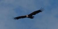 vulture-gorges-du-verdon